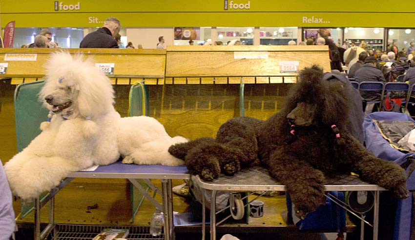 Crufts, dog hair styling, a poodle special. | modern dog