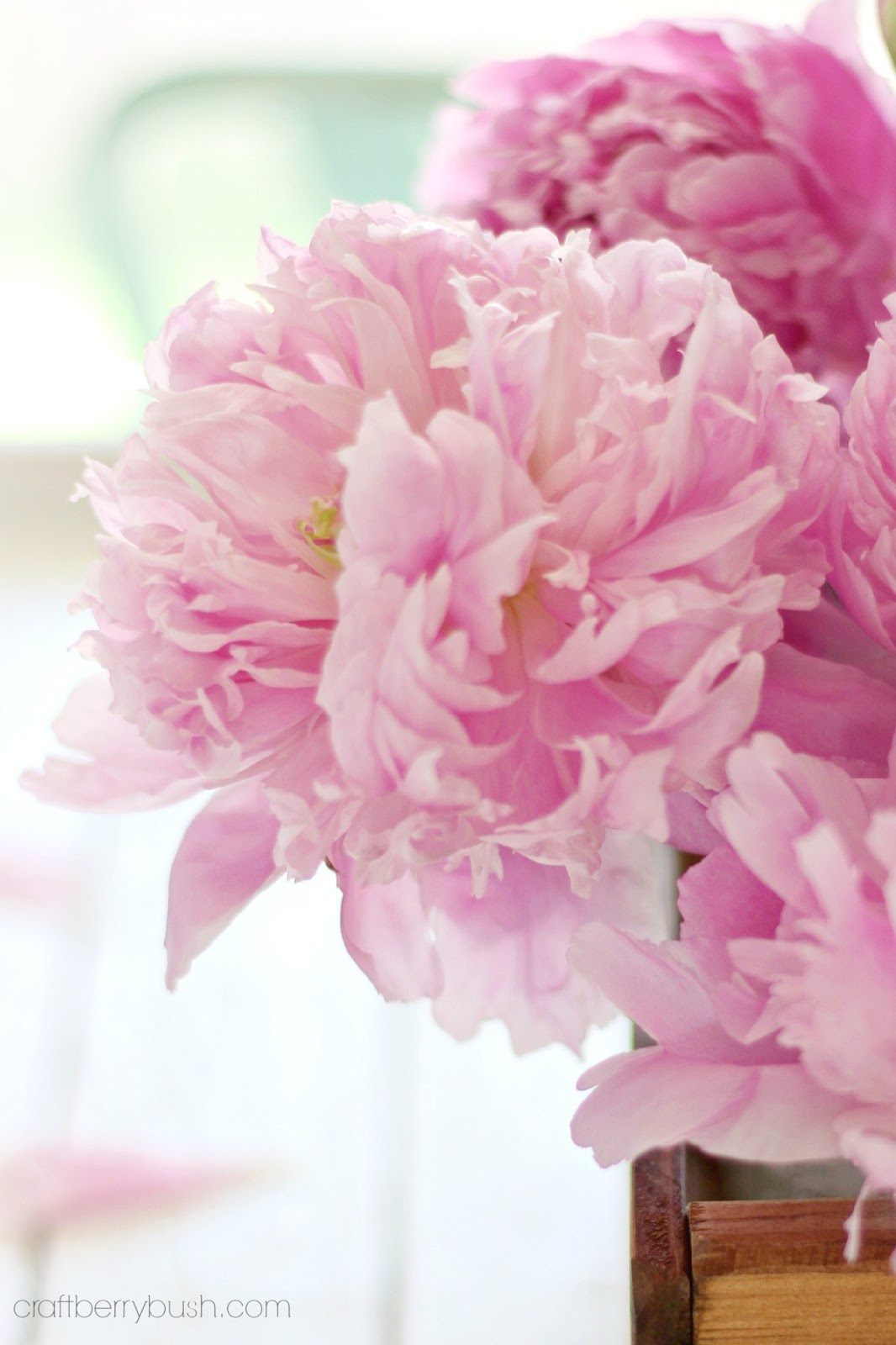 Pink Peonies And Photography