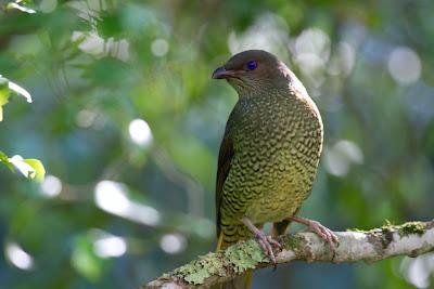 Female Satin Bowerbird - Ptilonorhynchus violaceus