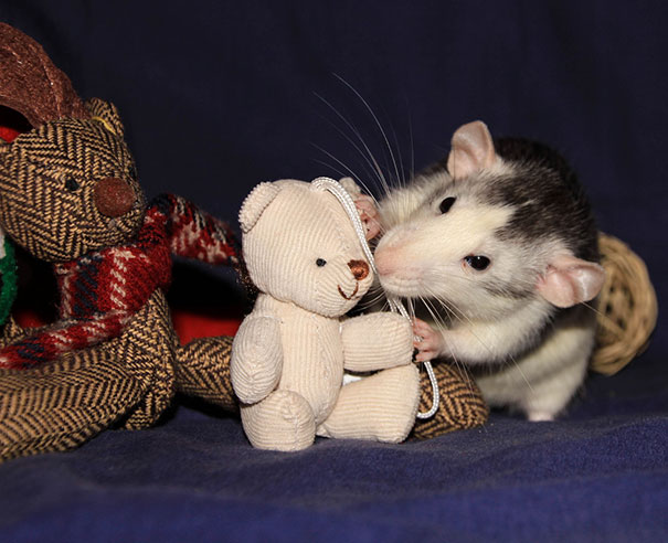 fotos-de-ratas-con-osos-de-peluche
