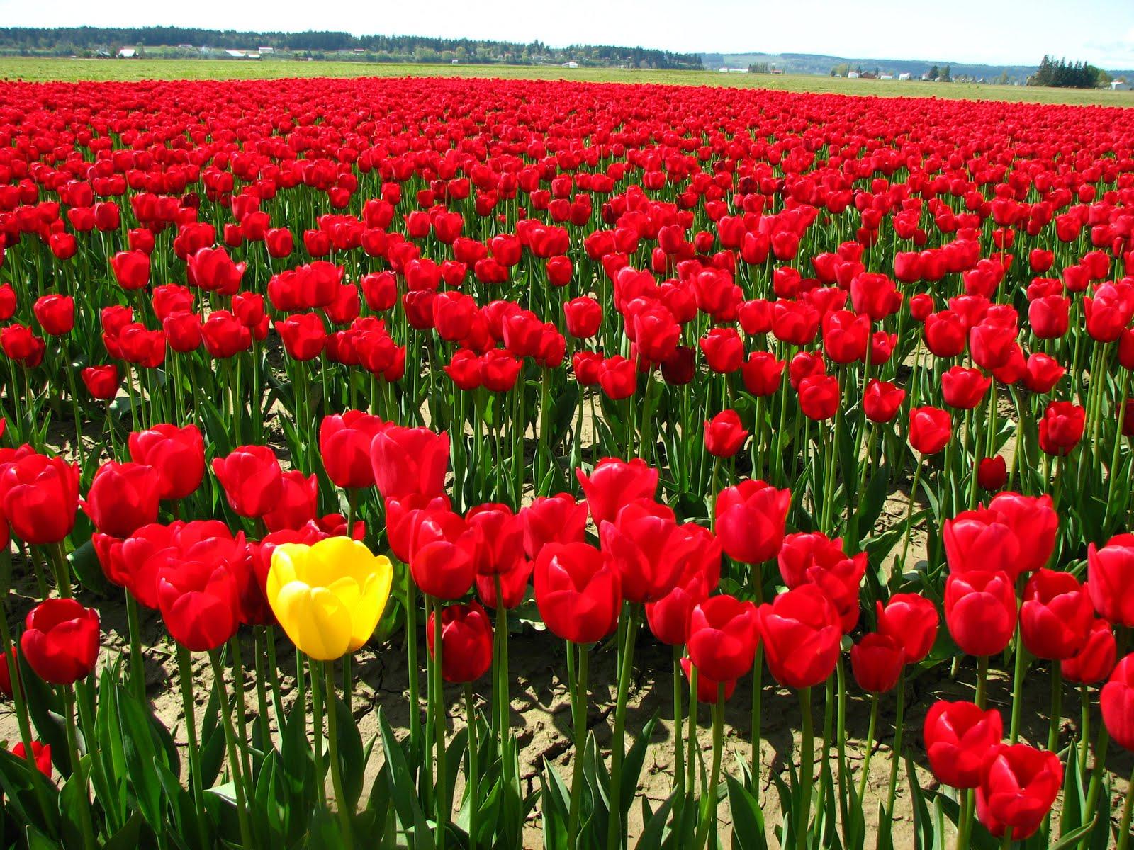 http://4.bp.blogspot.com/-uVQMWs9dzsw/TcuAfkeO0_I/AAAAAAAAAbU/CJ09nYv4UMo/s1600/red+tulips3.jpg