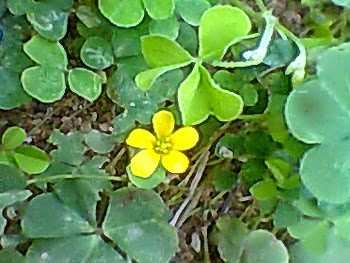 yellow wood sorrel ambul ambiliya flower