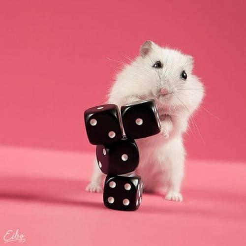 MAKHLUK COMEL HARI INI : Hamster Dan Dadu