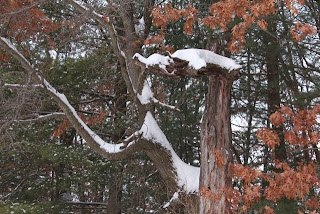 snowy oak sans snowy owl