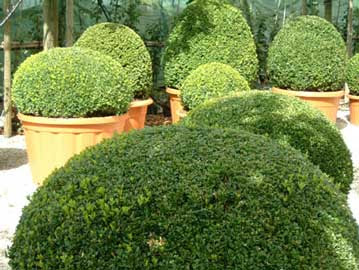 El caldero del bardo el boj planta energetica del jardin - Arbustos enanos para jardin ...