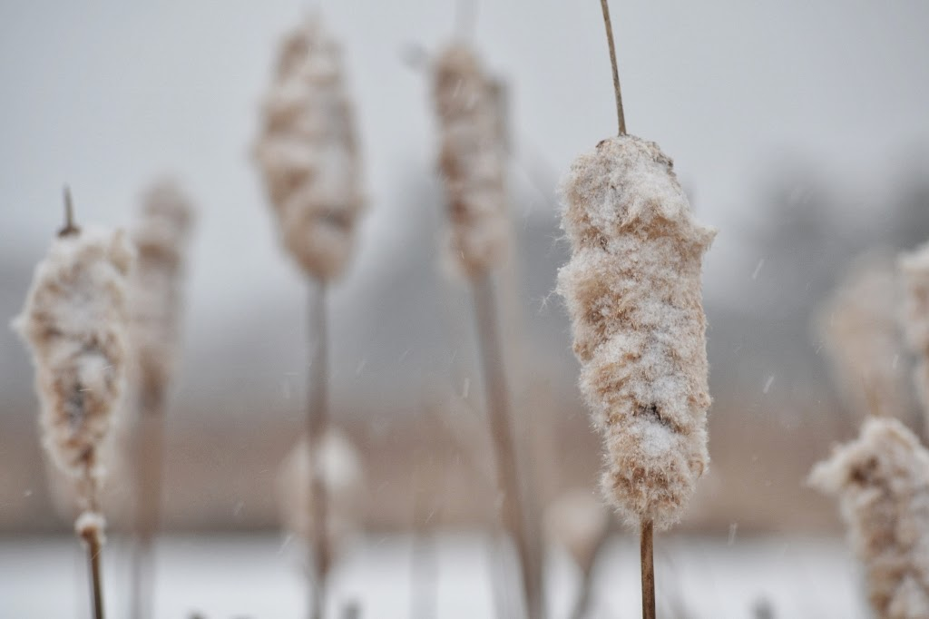 Cattail down is the winter home of the cattail moth caterpillar