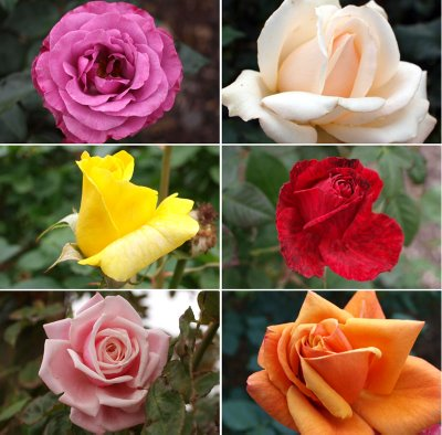 different types of roses - photo #17