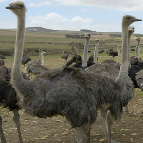 ostrich farming, ostrich farms, ostrich farm, ostrich feed, ostrich meat, ostrich breeding, ostrich picture, ostrich photo, ostrich image, ostrich farming business, commercial ostrich farming, commercial ostrich farming business, ostrich feed, ostrich breeding