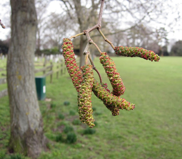 Alder catkins, Alnus glutinosa, in Cudham recreation ground. 25 February 2012.