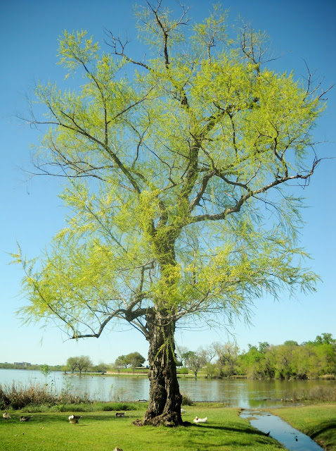 Large tree budding in Spring, White Rock Lake, Dallas, Texas