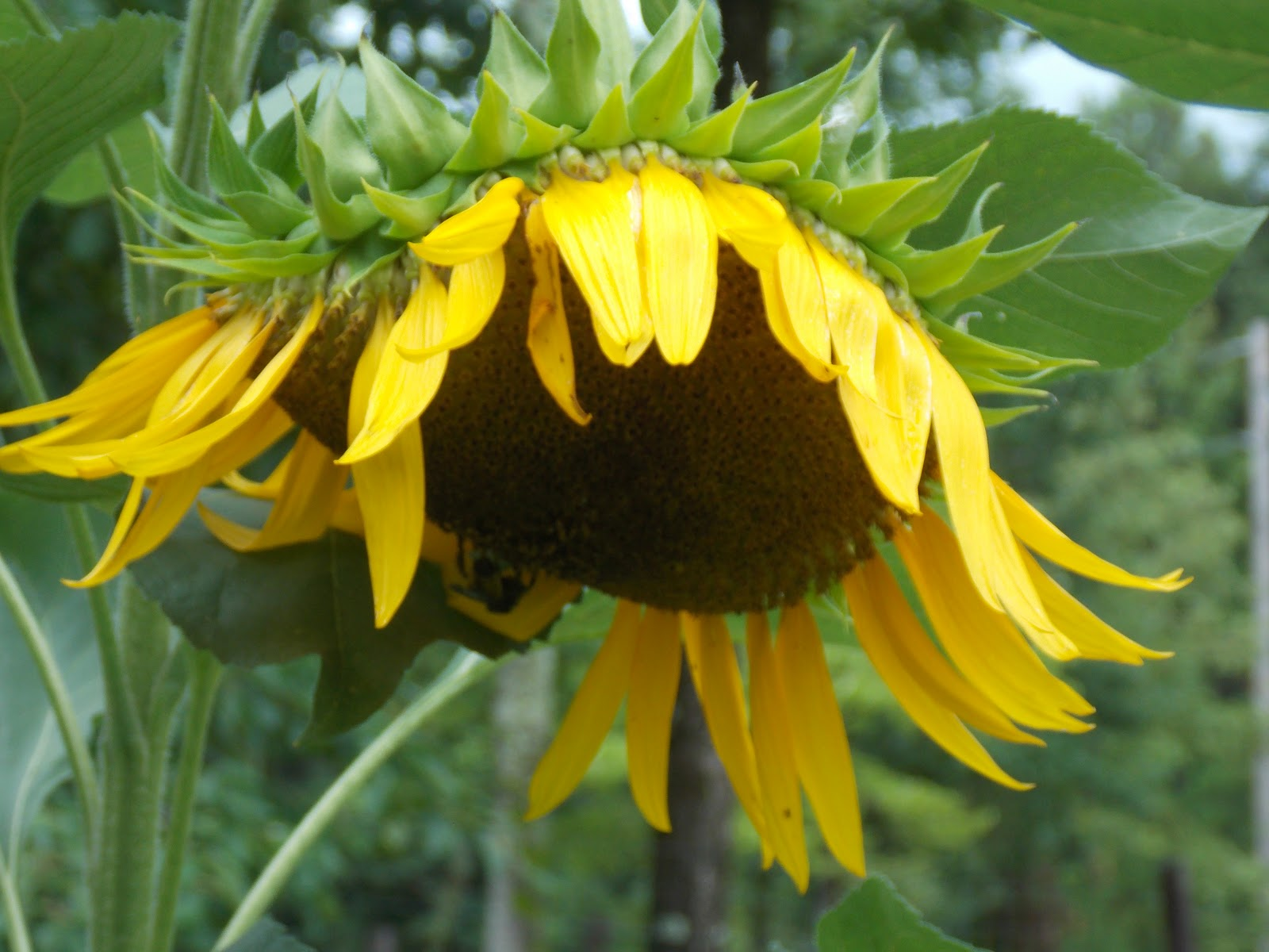 sunflower mature singles More than 100 sunflower annual varieties stretch from 2-foot dwarves to 16-foot mammoths  shapes include single,  (50 days to mature).