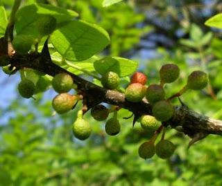 Pengobatan Alami Fibrokistik Payudara Benjol