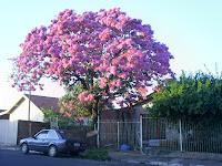 Como Plantar Sementes de Ipês Rosa,Roxo,Amarelo,Etc. S5028660
