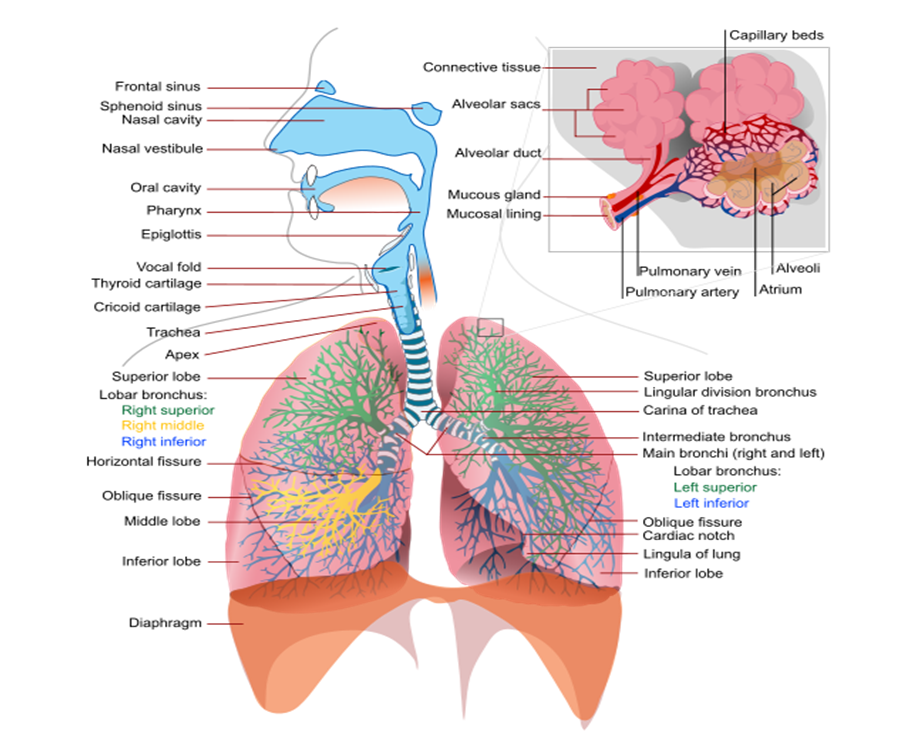 MBBS Medicine (Humanity First): The Respiratory System