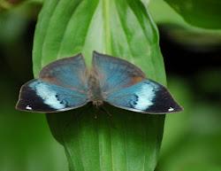 """The beautiful """"Oak Leaf Butterfly""""."""