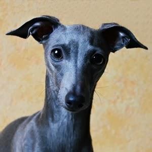http://www.italiangreyhound.eu/p/stupor-mundi-norin-queen_16.html