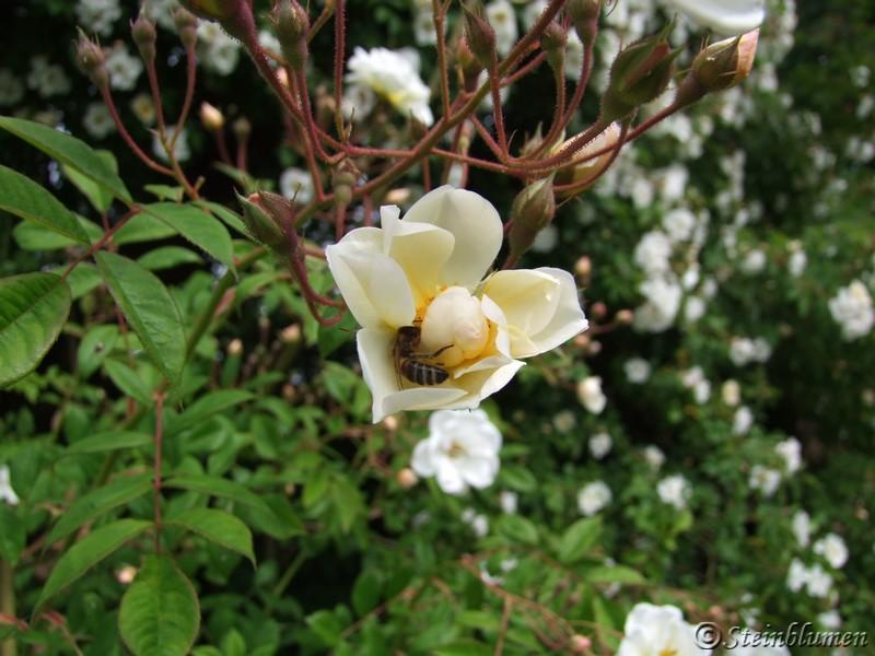 Lykkefund Rose mit Biene