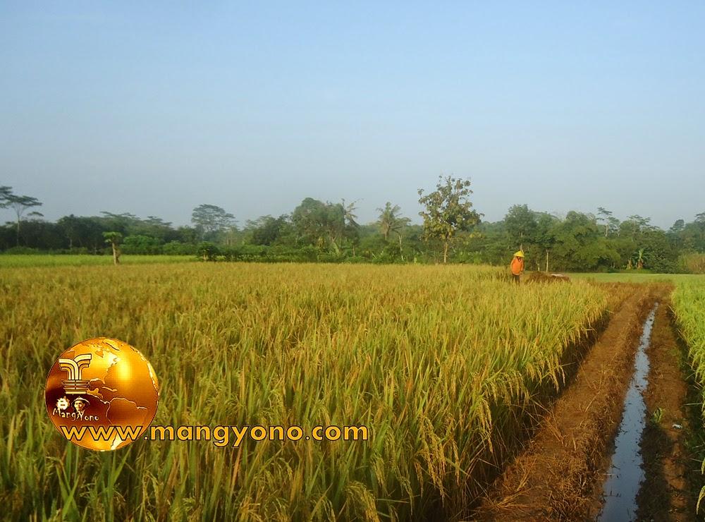 FOTO : ndahnya hamparan padi sawah yang menguning.