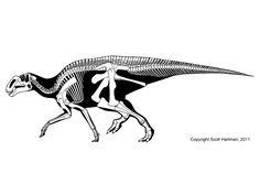 Gryposaurus skeleton
