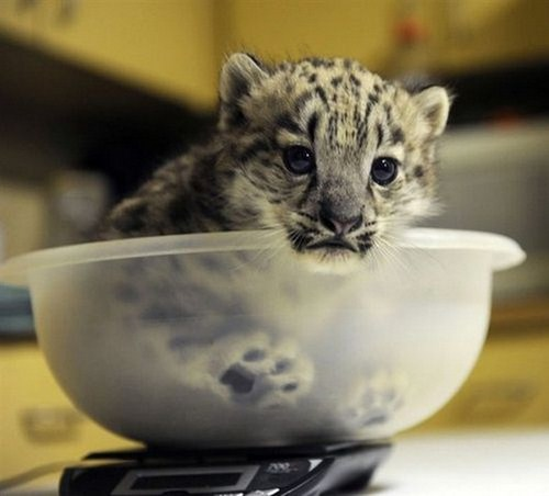 Cute baby snow leopard cubs - photo#5