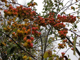 yellow crabapple fruits