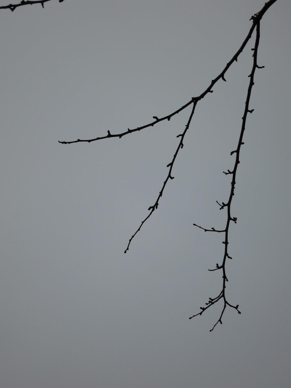 Hawthorn branch after the leaves have dropped.
