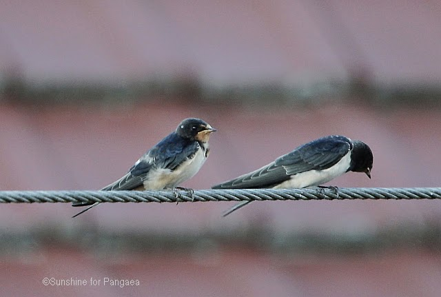 two young barn swallow Hirundo rustica