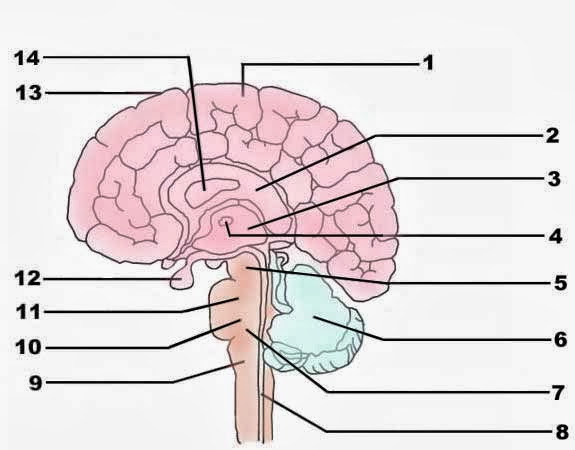 Images Of Blank Brainstem Diagram Spacehero