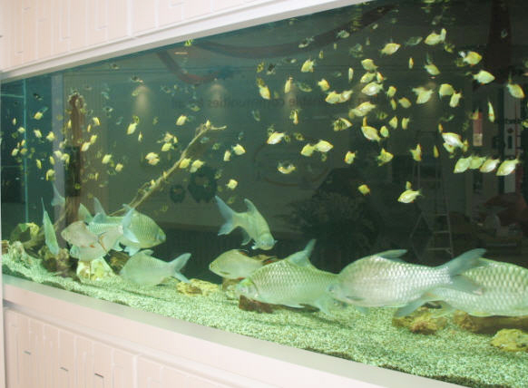 Ornamental fish aquarium february 2011 for Ornamental fish tank