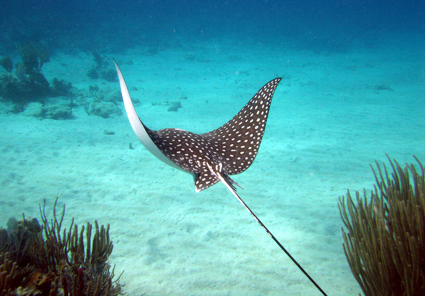 stingray the smooth ray is the largest stingray in the world when ...