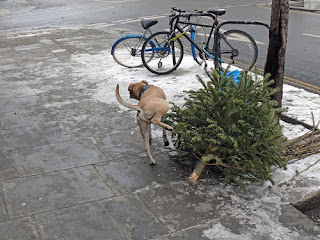 dog pissing on sad dead christmas tree