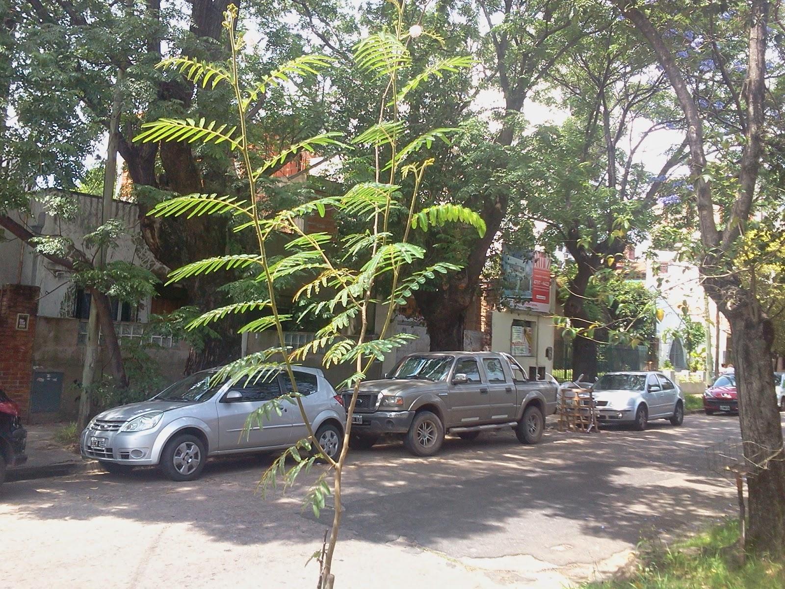 Jardín nativo: Carpinchera (Mimosa pigra).