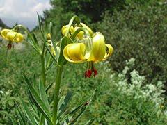 Flors dels Pirineus (web)
