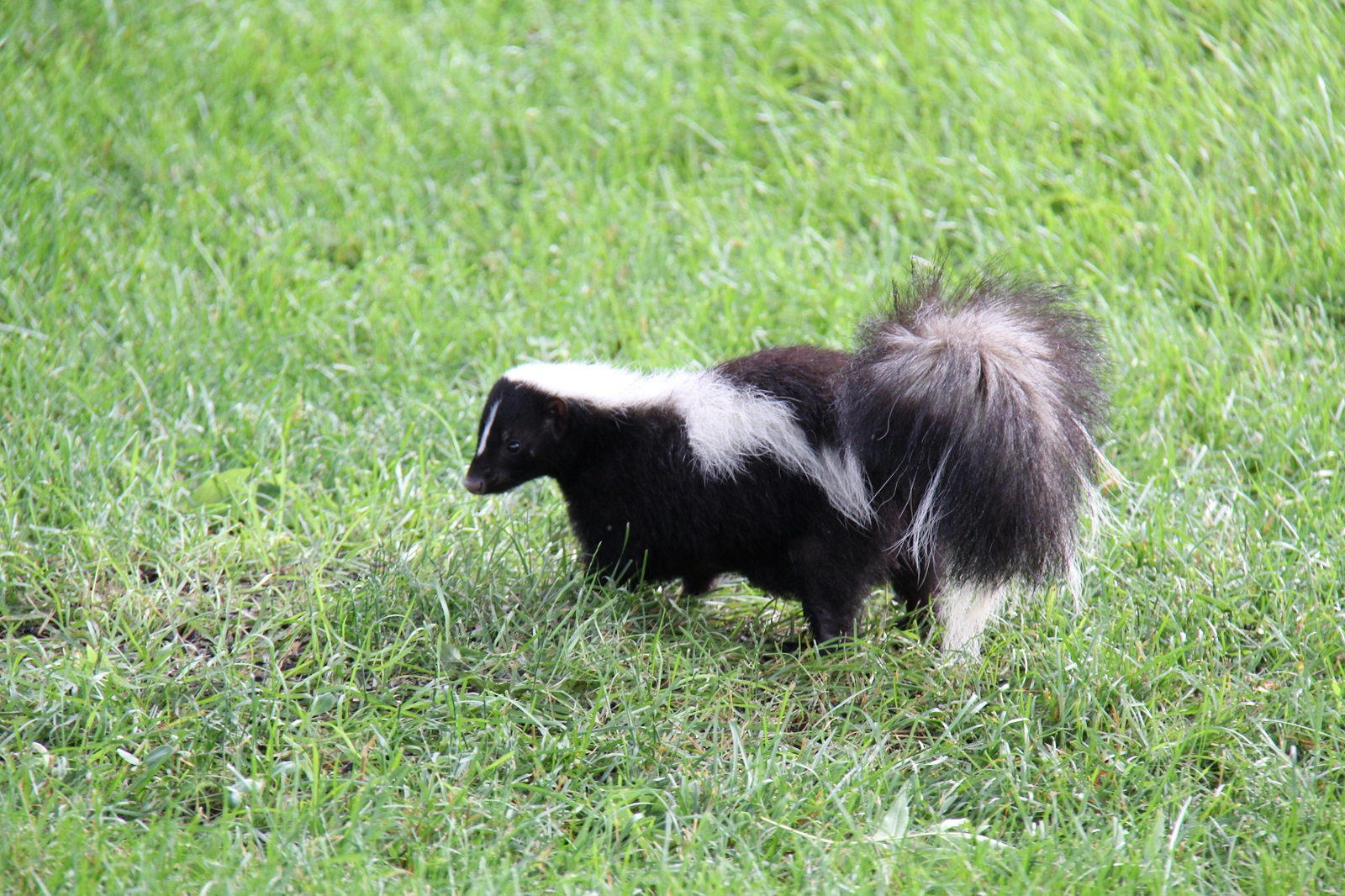 Skunk In Backyard john koshy: #wildlife skunk in the backyard