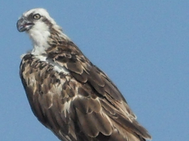 Osprey fishing the Red Sea
