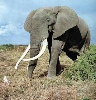 ช้างแอฟริกา