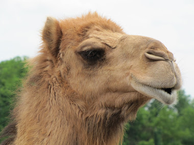 Camel at Creation Museum