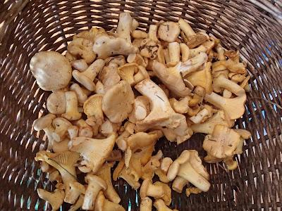 Orawa, grzyby lipcowe, pieprznik jadalny, kurka, Cantharellus ciborius, leśne maliny