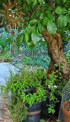Container Garden under Tree