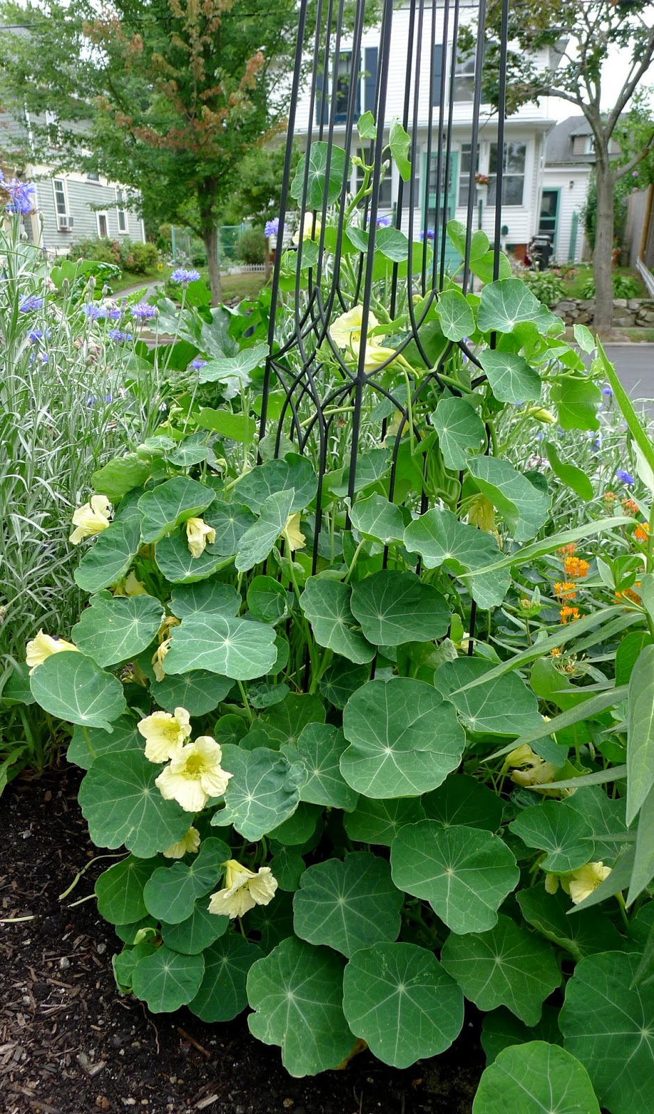 Less Noise, More Green Edible Landscape Project, Night and Day Nasturtium, Tropaeolum majus, annual, edible flower