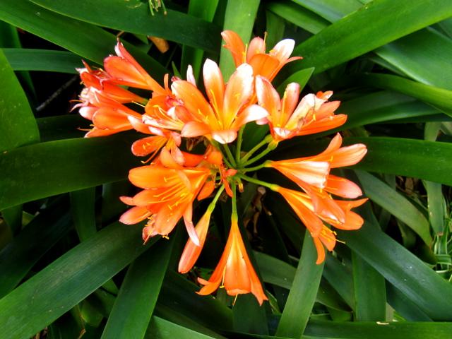 Orange flower Madeira