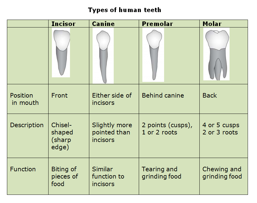 53 Types Of Teeth And Dental Decay on Grade 4 Science Animal Reproduction Worksheet
