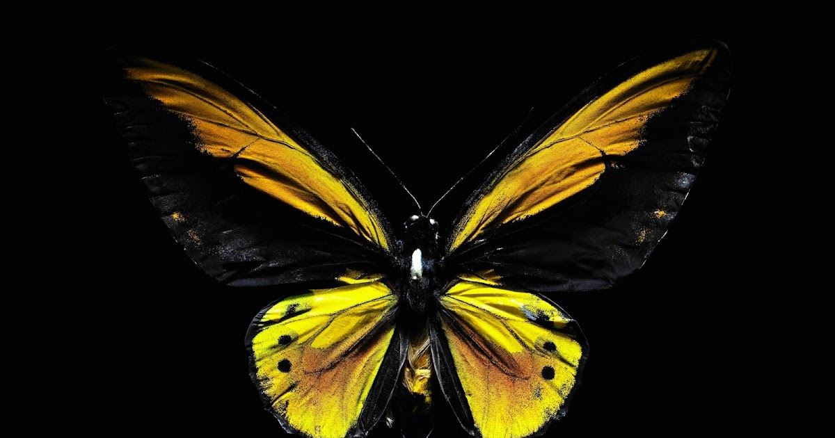 Black Yellow Butterfly Computer Screen Saver Pc Desktop