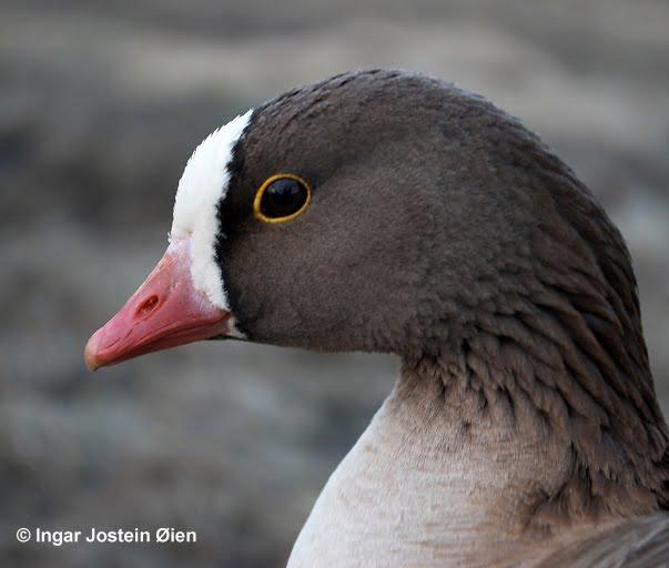 Νέο Πρόγραμμα LIFE για την προστασία της Νανόχηνας: πρόγραμμα ΖΩΗΣ για ένα από τα πιο απειλούμενα πουλιά της Ευρώπης
