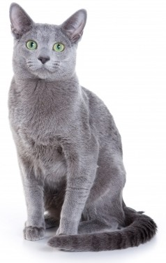 Vido chat Bleu russe, vidos de chats de race Bleu russe