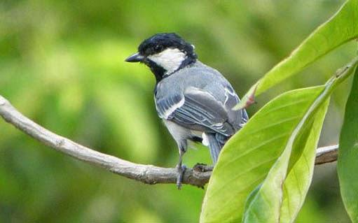 Tips dan Trik Perawatan Harian Burung Gelatik Batu Biar Gacor