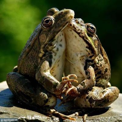 Images drôles et insolites catégorie Animal - Grenouille v4