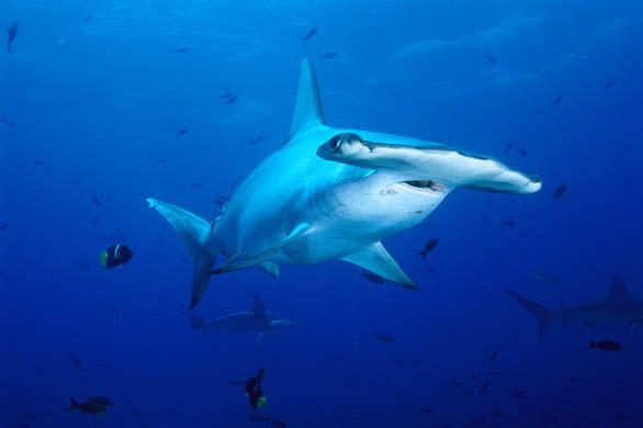 10 Spesies Hiu yang Hampir Punah di Dunia: Scalloped Hammerhead Shark