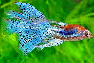 Jenis Ikan Hias Yang Bisa Di Campur Dalam Satu Akuarium