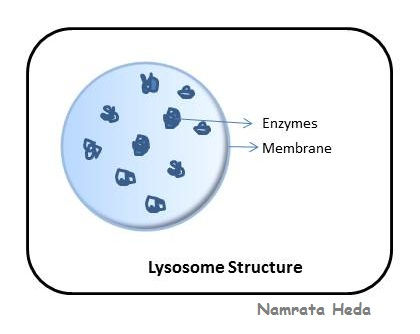 Function of Lysosomes | TutorVista.com